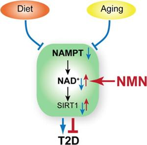 Metabolismo NMN